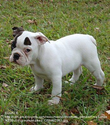 Free Lance Bulldog