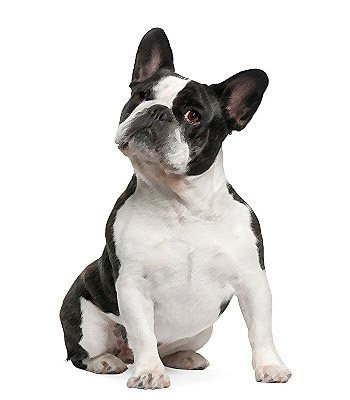 French Bulldog image