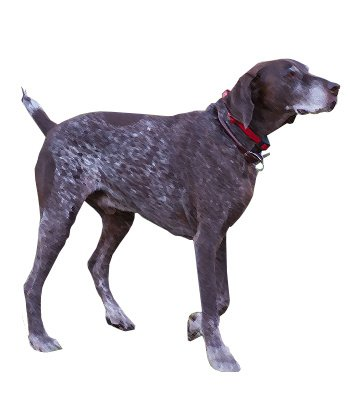 French Pyrenean Pointer