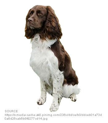 French Setter