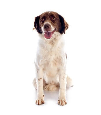 French Spaniel image