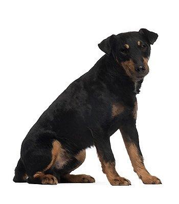 German Hunt Terrier