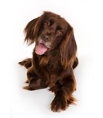 German Longhaired Pointer image