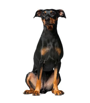 German Pinscher image