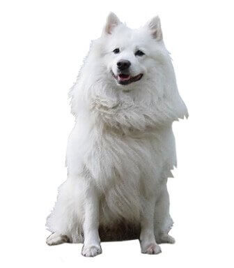 German Spitz image
