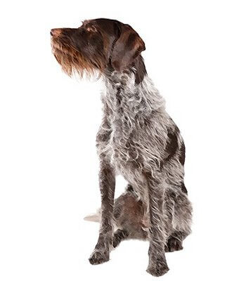 German Wirehaired Pointer image