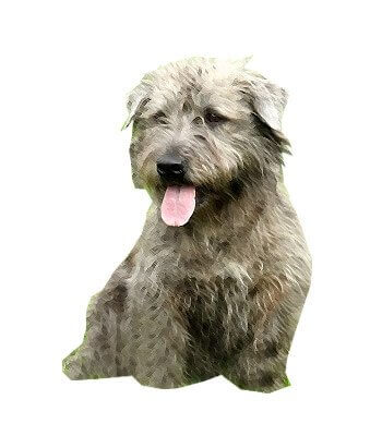 Glen of Imaal Terrier image