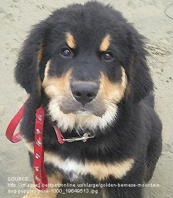 bernese golden mountain dog puppies