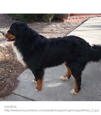 Great Bernese