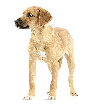 Breeds Dogs Hound Mix Petpremium
