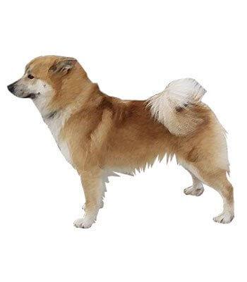 Icelandic Sheepdog image