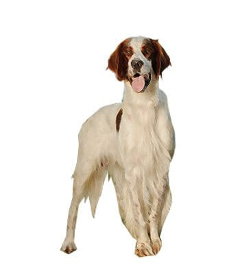 Irish Red and White Setter image