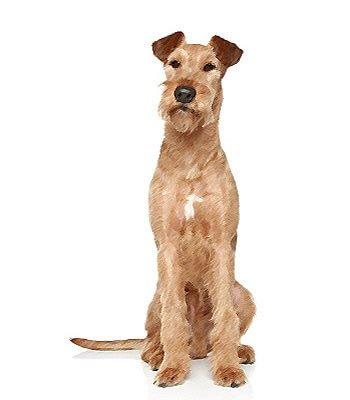 Irish Terrier image
