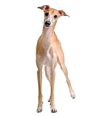 Italian Greyhound image