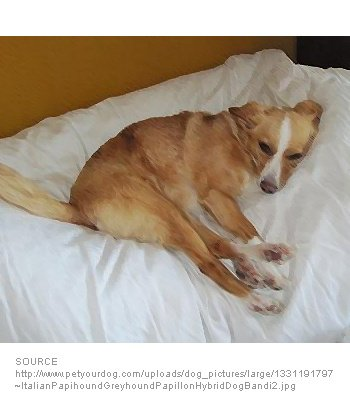Italian Papihound