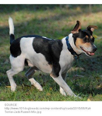 Jack Rat Terrier