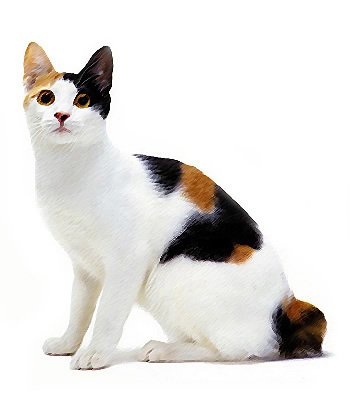 Japanese Bobtail image