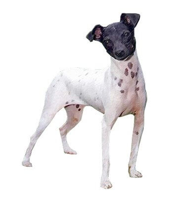 Japanese Terrier image