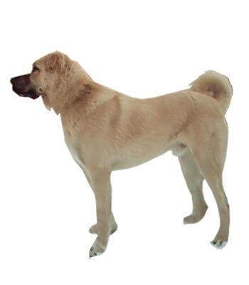 Kangal Dog