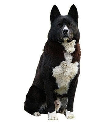 Karelian Bear Dog image