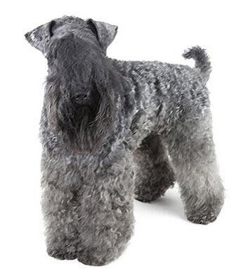 Kerry Blue Terrier Bre...