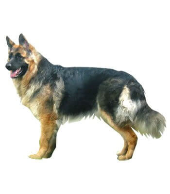 King Shepherd image