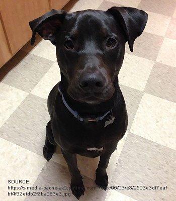 Labrabull Dog Breeds Characteristics Feeding Health