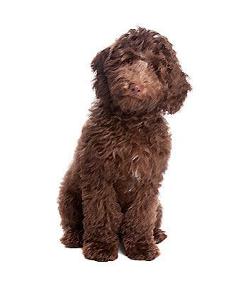 Labradoodle image