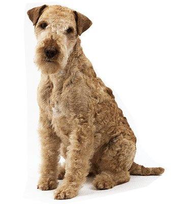 Lakeland Terrier image