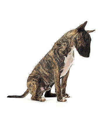 Miniature Bull Terrier image