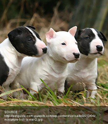 Miniature French Bull Terrier