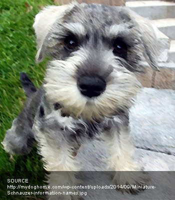 Miniature French Schnauzer
