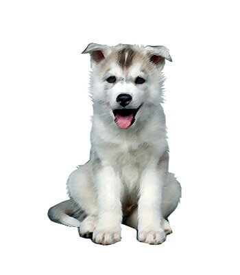 Miniature Husky image