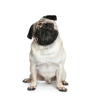 Miniature Pug