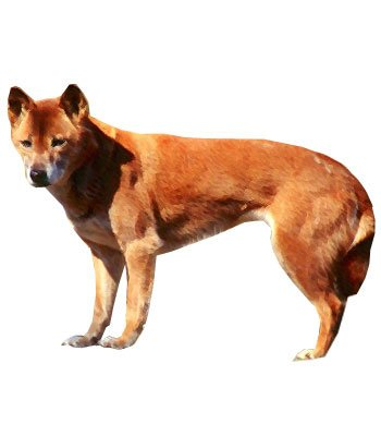 New Guinea Singing Dog image