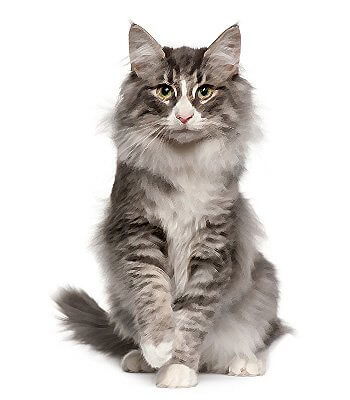 Norwegian Forest image