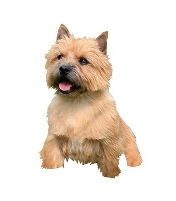 Norwich Terrier image