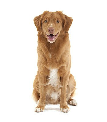 Nova Scotia Duck Tolling Retriever image