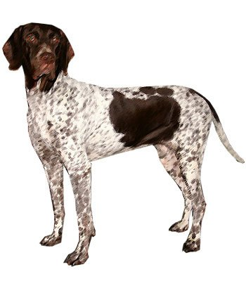 Old Danish Pointer image