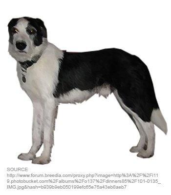 Old Sheepdog Deerhound