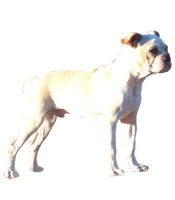 Olde Boston Bulldogge image