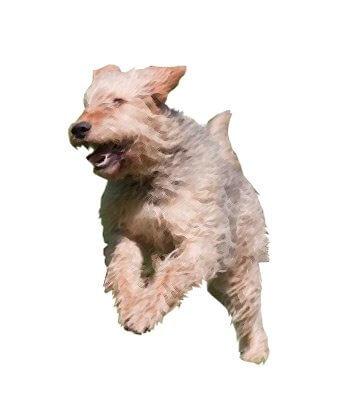 Otterhound image