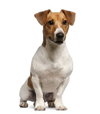 Parson Russell Terrier image