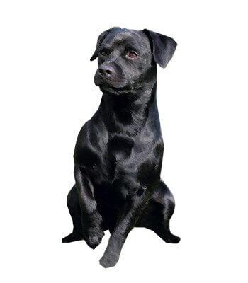 Patterdale Terrier image