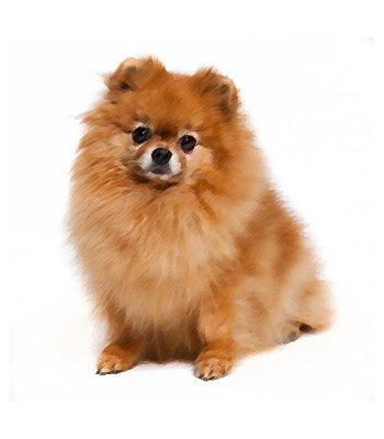 Pomeranian Mix image