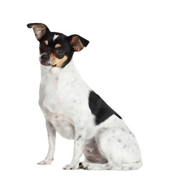 Rat Terrier image