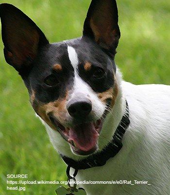 Ratshire Terrier