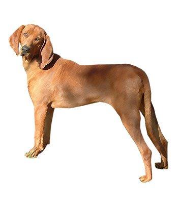 Redbone Coonhound image