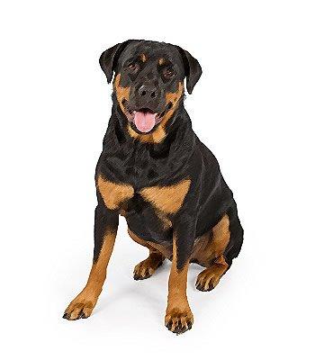 Rottweiler Mix image
