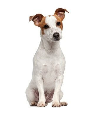 Russell Terrier image